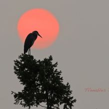 heron against orange sun